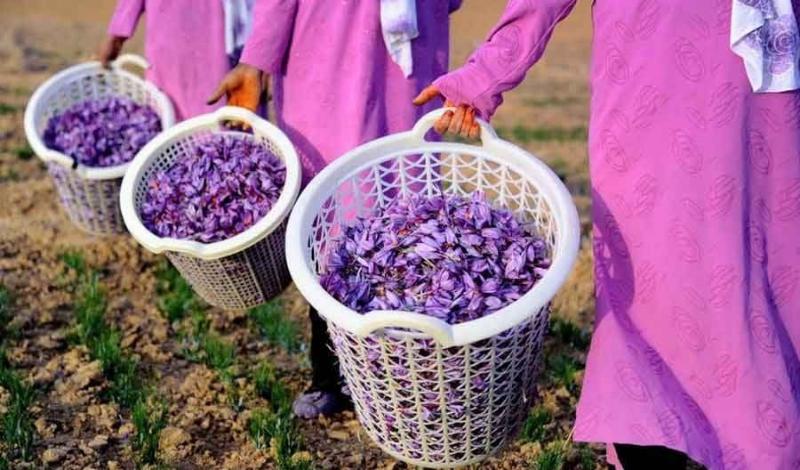 برداشت ۶۶ کیلوگرم زعفران از سطح مزارع شهرستان هرسین
